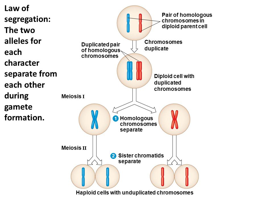 Duplicated pair of homologous chromosomes Pair of homologous chromosomes in diploid parent cell Chromosomes duplicate Diploid cell with duplicated chromosomes Homologous chromosomes separate Sister chromatids separate Meiosis I Meiosis II Haploid cells with unduplicated chromosomes 1 2 Law of segregation: The two alleles for each character separate from each other during gamete formation.