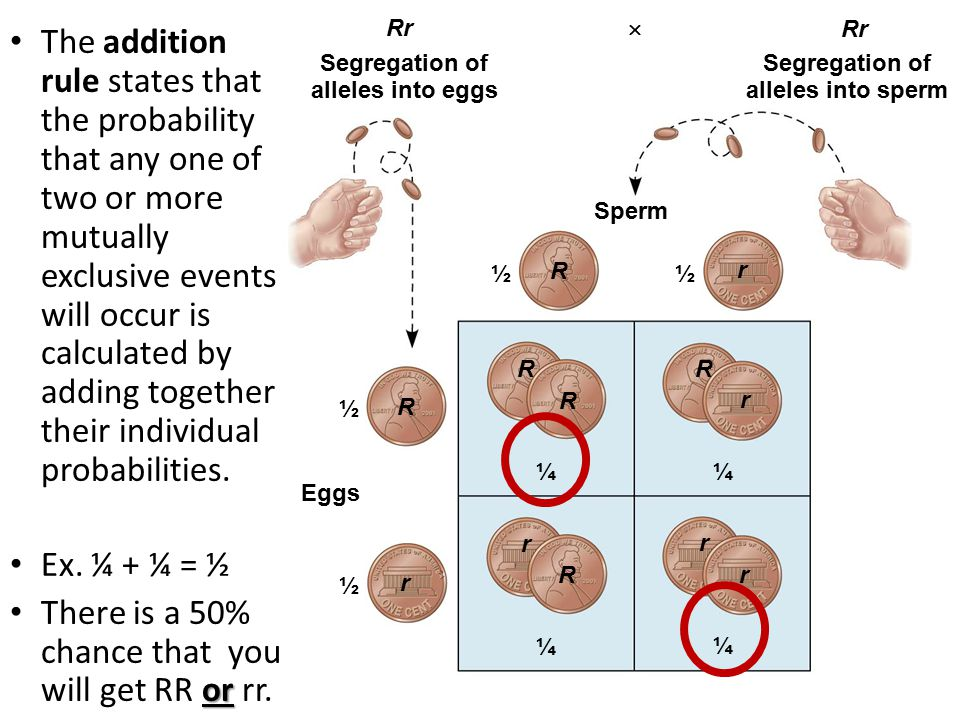 R r R r R r Segregation of alleles into eggs Eggs Sperm ¼ ½½ ½ ½ Segregation of alleles into sperm Rr  R R ¼ r r ¼ R r ¼ The addition rule states that the probability that any one of two or more mutually exclusive events will occur is calculated by adding together their individual probabilities.