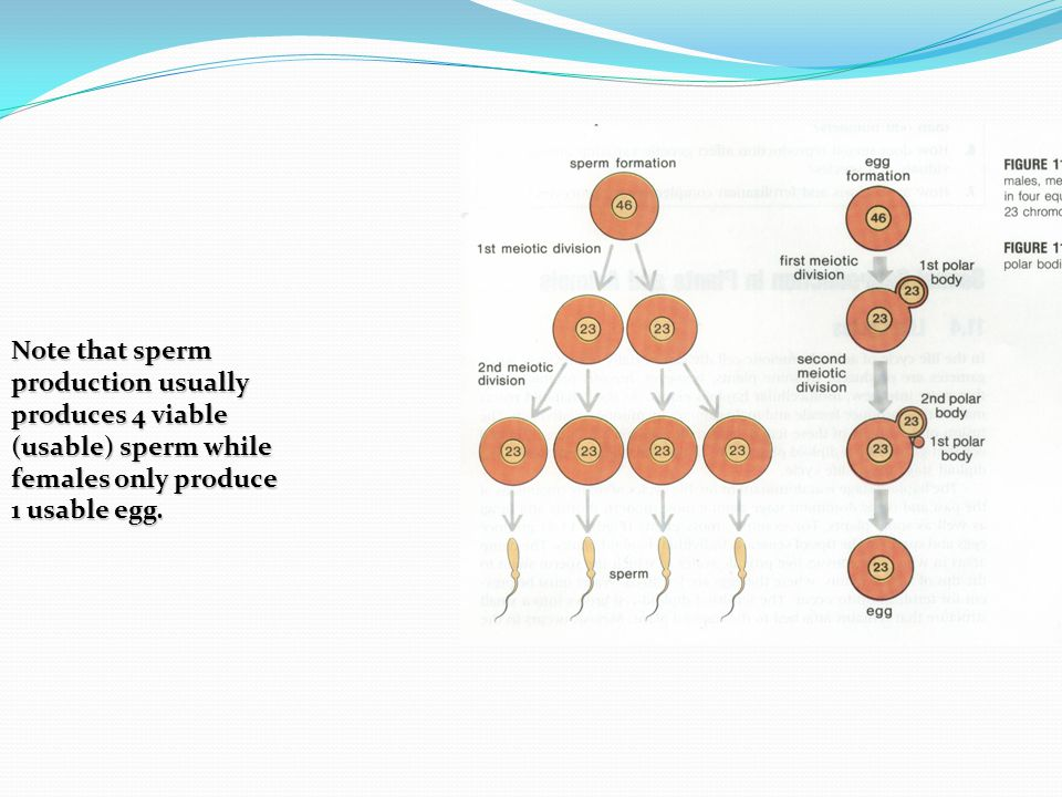 Note that sperm production usually produces 4 viable (usable) sperm while females only produce 1 usable egg.
