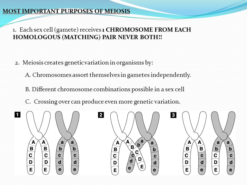MOST IMPORTANT PURPOSES OF MEIOSIS 1 CHROMOSOME FROM EACH HOMOLOGOUS (MATCHING) PAIR NEVER BOTH!! 1. Each sex cell (gamete) receives 1 CHROMOSOME FROM