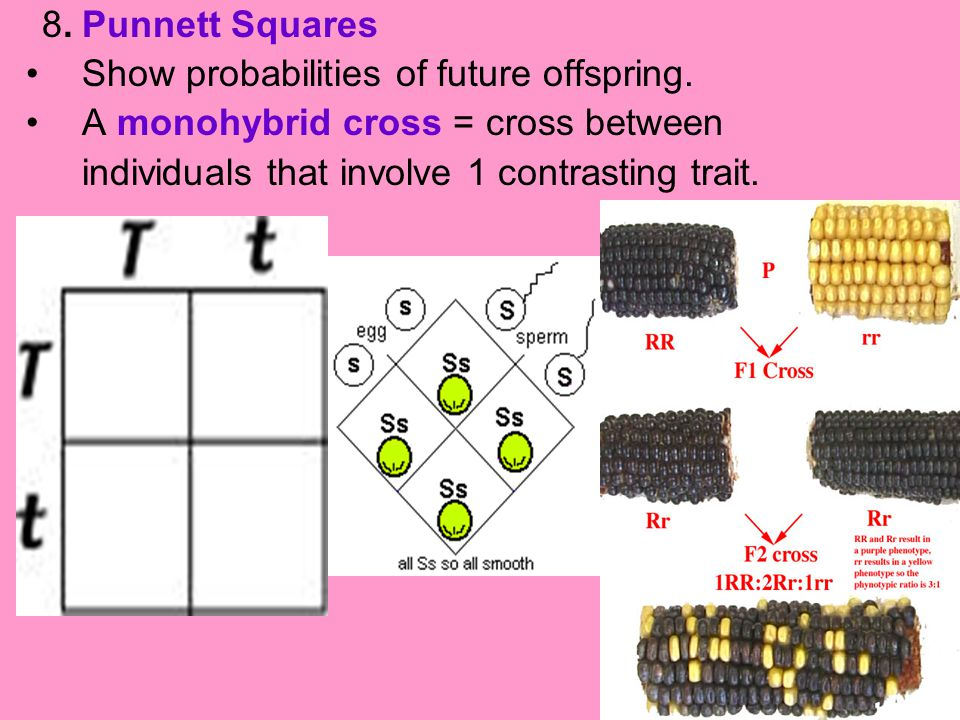 8. Punnett Squares Show probabilities of future offspring. A monohybrid cross = cross between individuals that involve 1 contrasting trait.