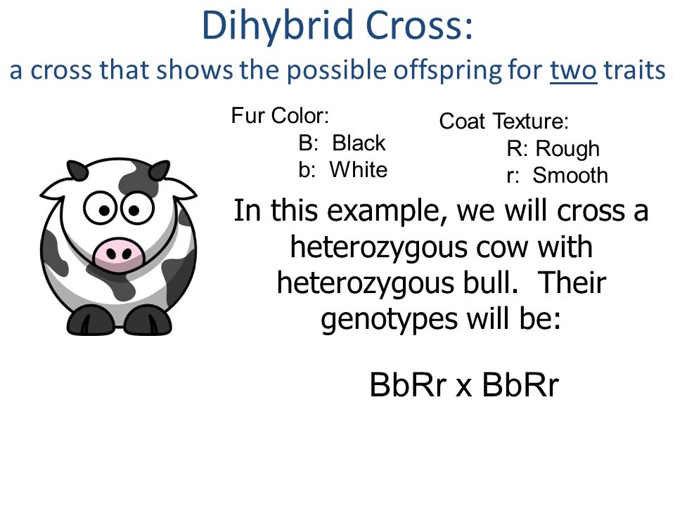 Dihybrid Cross: a cross that shows the possible offspring for two traits Fur Color: B: Black b: White Coat Texture: R: Rough r: Smooth In this example