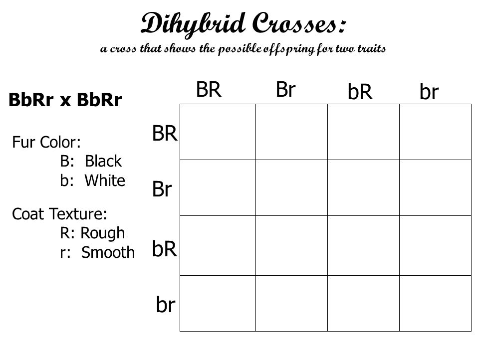 Dihybrid Crosses: a cross that shows the possible offspring for two traits Fur Color: B: Black b: White Coat Texture: R: Rough r: Smooth BbRr x BbRr B