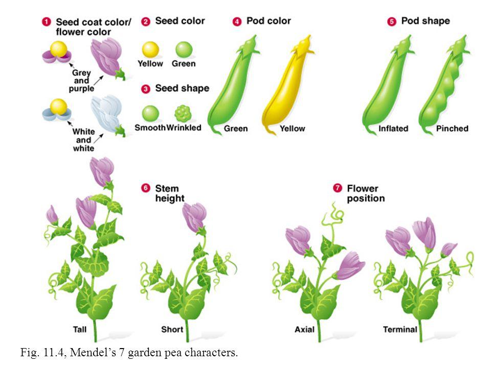 Fig. 11.4, Mendel's 7 garden pea characters.
