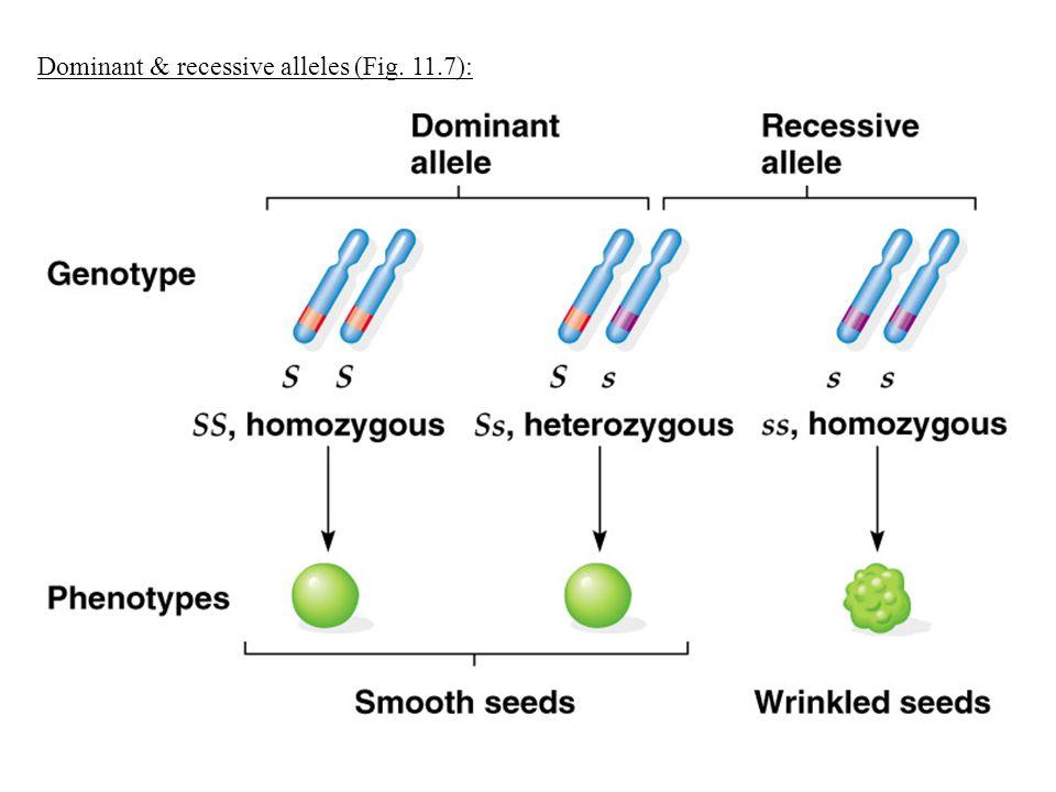 Dominant & recessive alleles (Fig. 11.7):