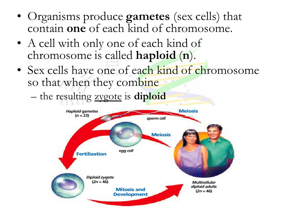 Organisms produce gametes (sex cells) that contain one of each kind of chromosome. A cell with only one of each kind of chromosome is called haploid (