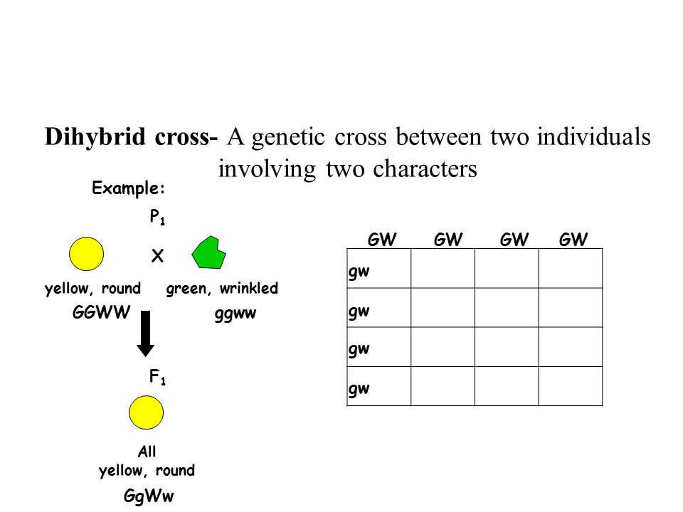 Dihybrid cross- A genetic cross between two individuals involving two characters GGWWggww Example: P1P1 yellow, roundgreen, wrinkled X GW GW gw GgWw F1F1 All yellow, round