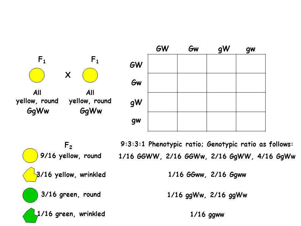 F1F1 GgWw F1F1 All yellow, round GgWw X F2F2 9/16 yellow, round 3/16 yellow, wrinkled 3/16 green, round 1/16 green, wrinkled GW Gw gW gw gW GW gw Gw 9:3:3:1 Phenotypic ratio; Genotypic ratio as follows: 1/16 GGWW, 2/16 GGWw, 2/16 GgWW, 4/16 GgWw 1/16 GGww, 2/16 Ggww 1/16 ggWw, 2/16 ggWw 1/16 ggww