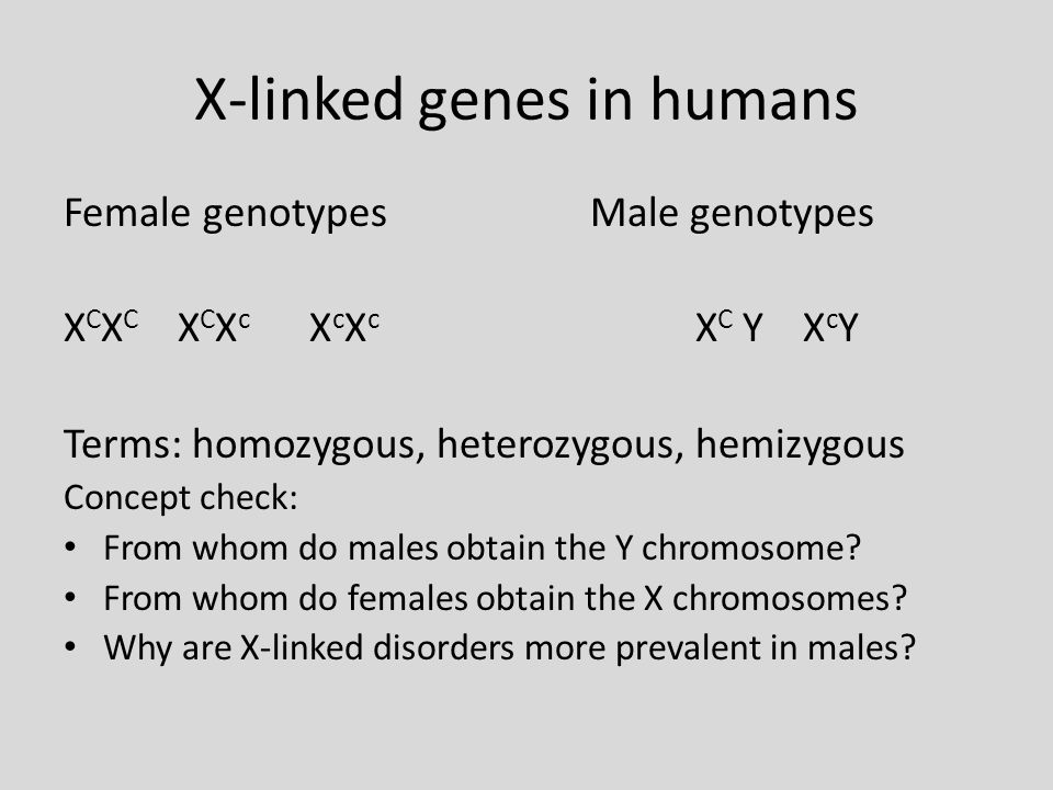 X-linked genes in humans Female genotypesMale genotypes X C X C X C X c X c X c X C Y X c Y Terms: homozygous, heterozygous, hemizygous Concept check: From whom do males obtain the Y chromosome.