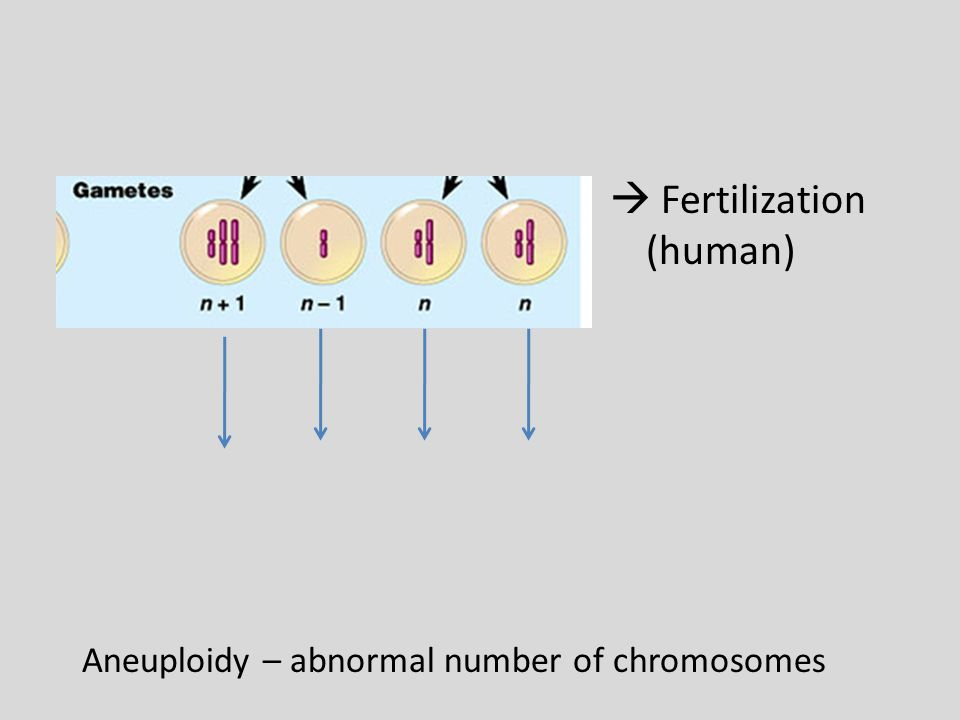  Fertilization (human) Aneuploidy – abnormal number of chromosomes