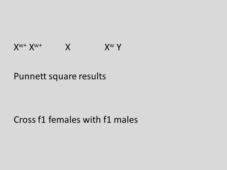 X w+ X w+ X X w Y Punnett square results Cross f1 females with f1 males