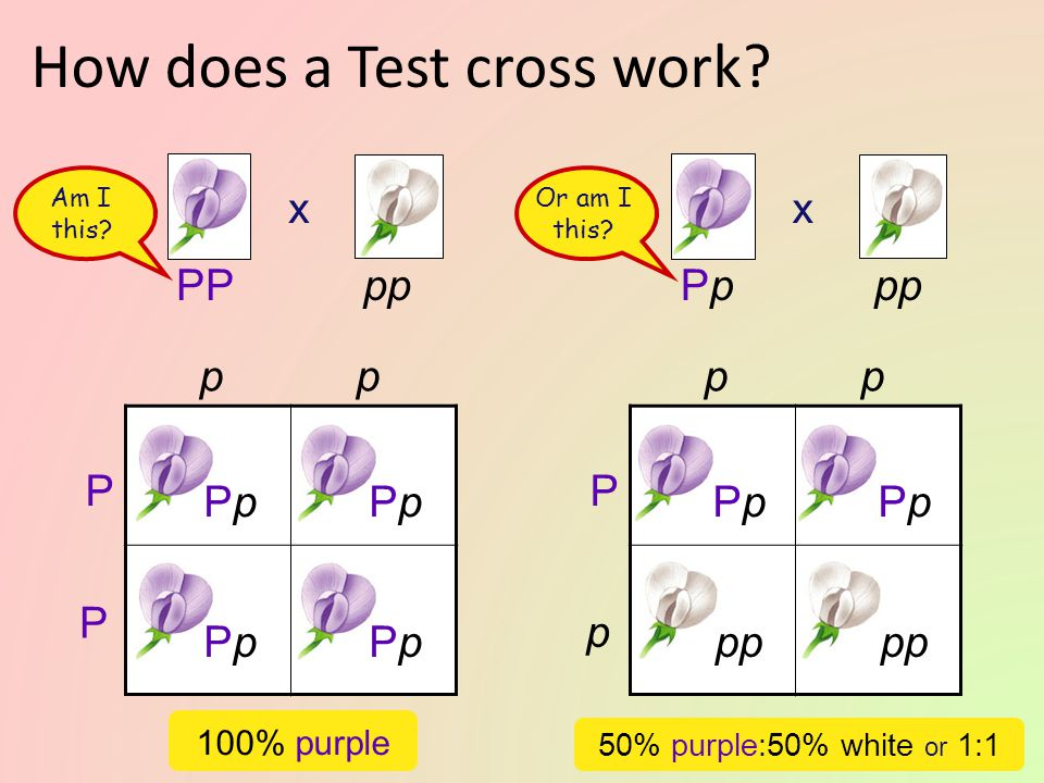Test cross Breed the dominant phenotype — the unknown genotype — with a homozygous recessive (pp) to determine the identity of the unknown allele pp i