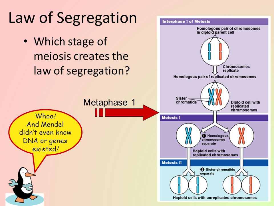 Mendel's 1 st law of heredity Law of segregation – during meiosis, alleles segregate homologous chromosomes separate – each allele for a trait is packaged into a separate gamete PP P P pp p p PpPp P p