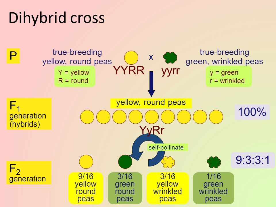 Dihybrid cross Other of Mendel's experiments followed the inheritance of 2 different characters – seed color and seed shape – dihybrid crosses Mendel