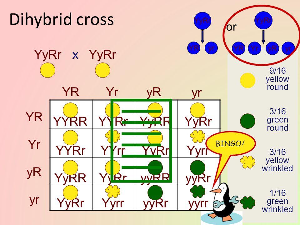 9/16 yellow round 3/16 green round 3/16 yellow wrinkled 1/16 green wrinkled Is this the way it works? YyRr YRyr YR yr x YyRr YryRYR yr YyRr YRyr or YY