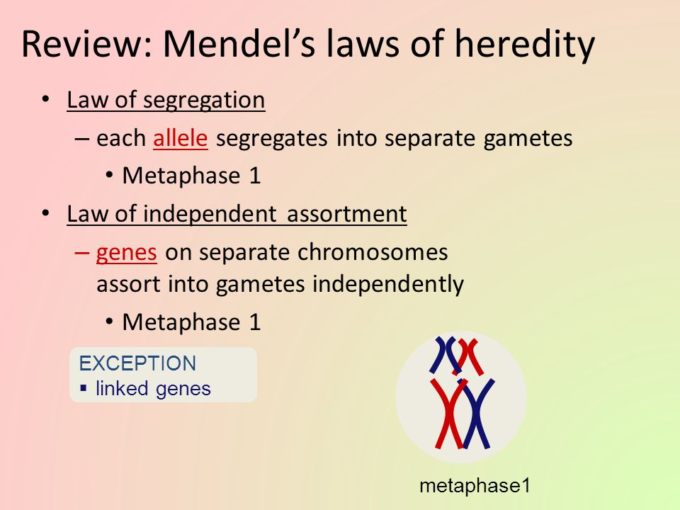 The chromosomal basis of Mendel's laws… Trace the genetic events through meiosis, gamete formation & fertilization to offspring