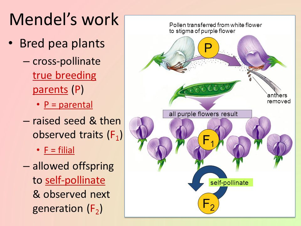 Gregor Mendel Modern genetics began in the mid-1800s in an abbey garden, where a monk named Gregor Mendel documented inheritance in peas – used experimental method – used quantitative analysis collected data & counted them – excellent example of scientific method