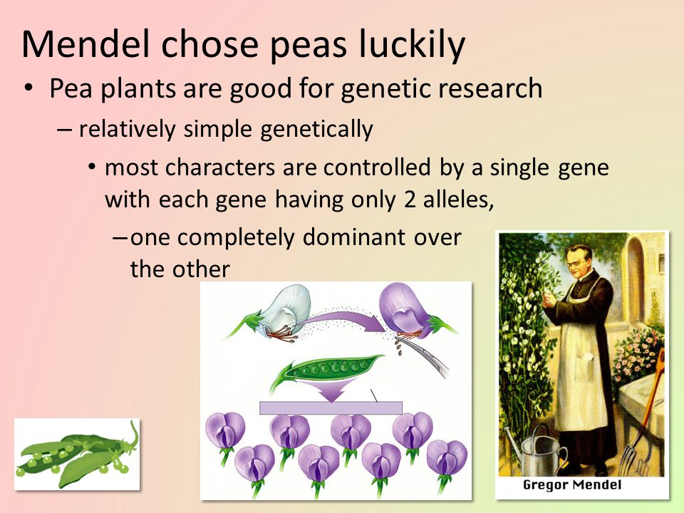 Mendel chose peas wisely Pea plants are good for genetic research – available in many varieties with distinct heritable features with different variat