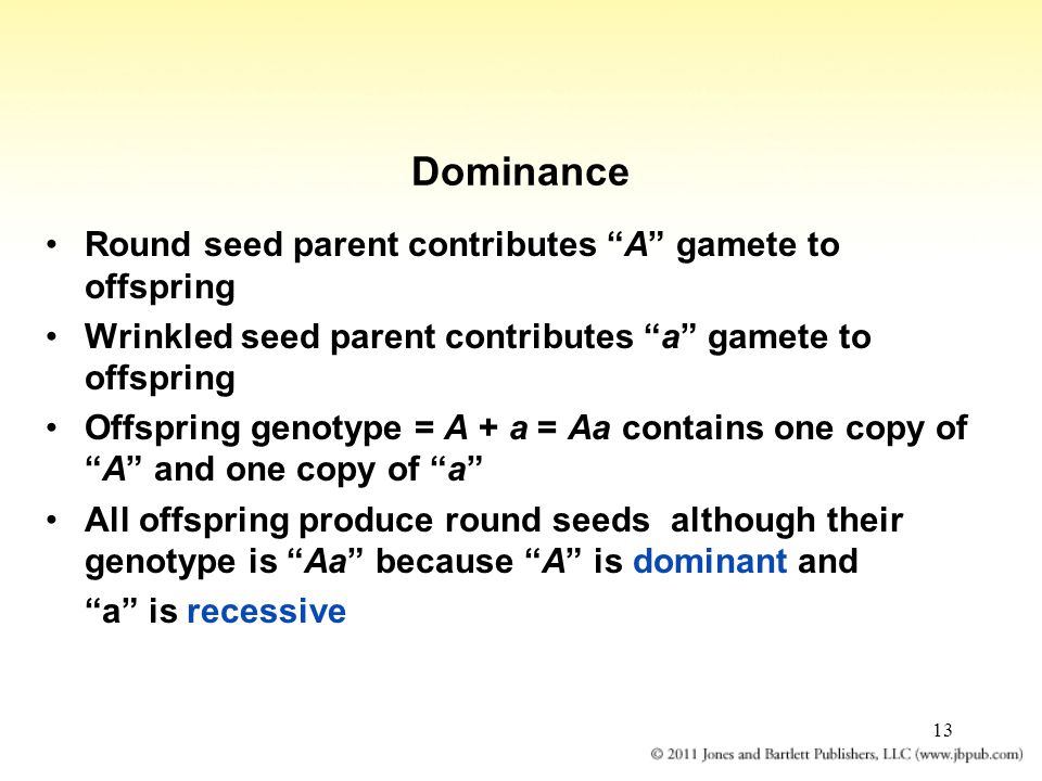"13 Dominance Round seed parent contributes ""A"" gamete to offspring Wrinkled seed parent contributes ""a"" gamete to offspring Offspring genotype = A + a"