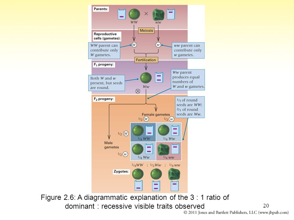 20 Figure 2.6: A diagrammatic explanation of the 3 : 1 ratio of dominant : recessive visible traits observed