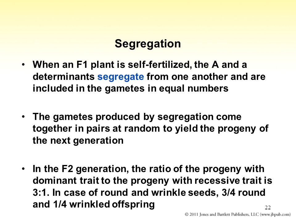 22 Segregation When an F1 plant is self-fertilized, the A and a determinants segregate from one another and are included in the gametes in equal numbe