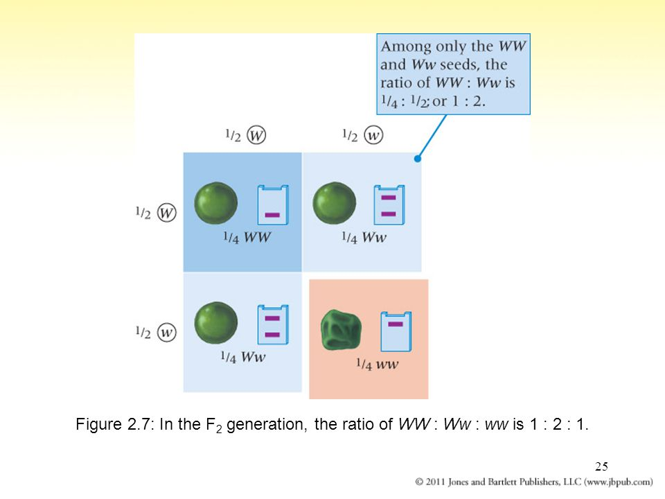 25 Figure 2.7: In the F 2 generation, the ratio of WW : Ww : ww is 1 : 2 : 1.