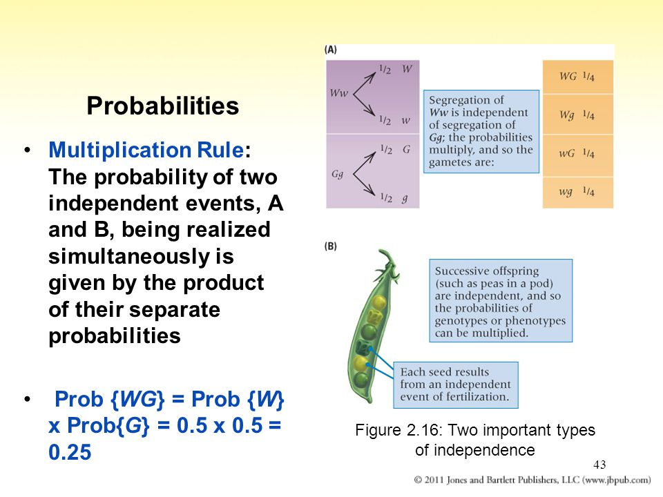 43 Probabilities Multiplication Rule: The probability of two independent events, A and B, being realized simultaneously is given by the product of the