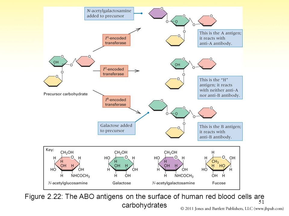 51 Figure 2.22: The ABO antigens on the surface of human red blood cells are carbohydrates