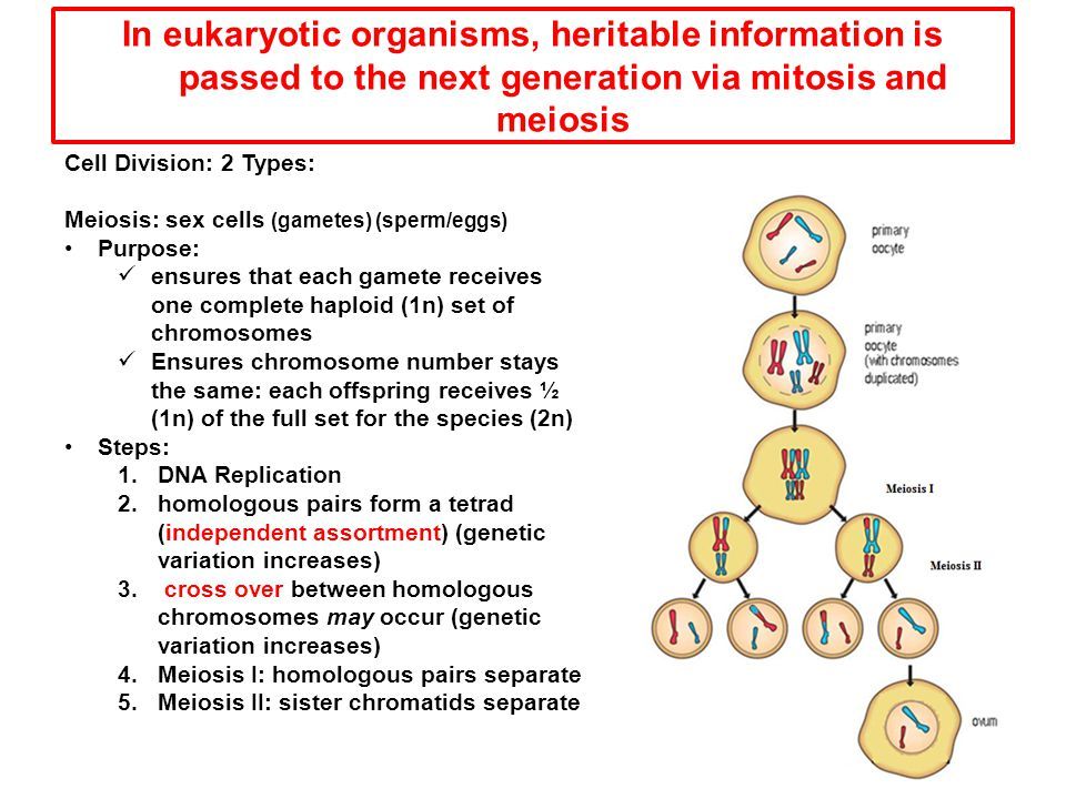 In eukaryotic organisms, heritable information is passed to the next generation via mitosis and meiosis Cell Division: 2 Types: Meiosis: sex cells (ga