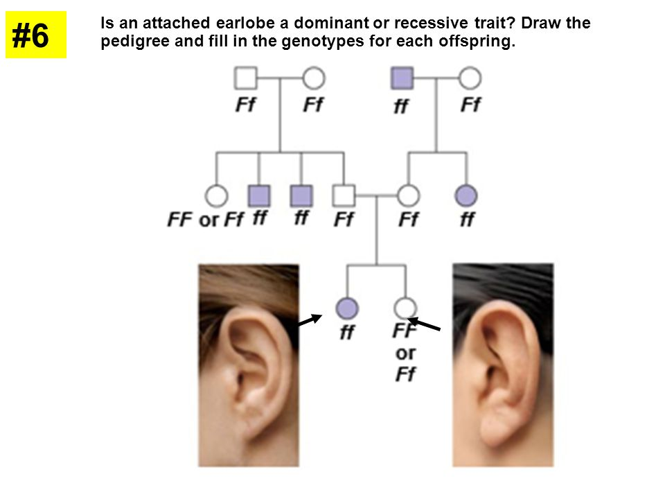 #6 Is an attached earlobe a dominant or recessive trait? Draw the pedigree and fill in the genotypes for each offspring.