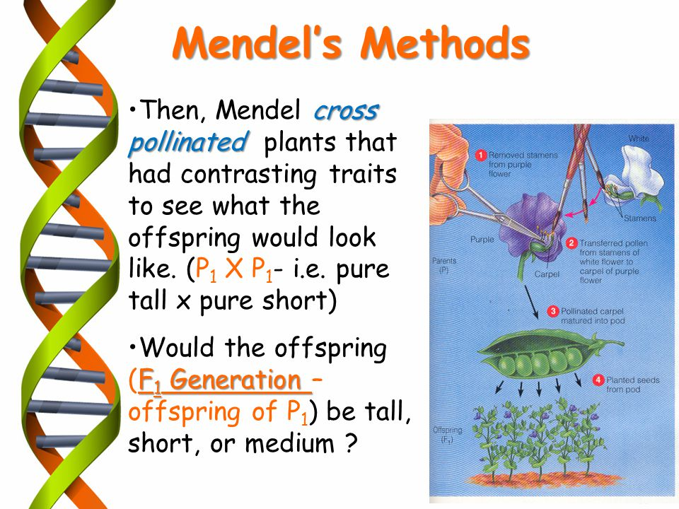 cross pollinatedThen, Mendel cross pollinated plants that had contrasting traits to see what the offspring would look like. (P 1 X P 1 - i.e. pure tal