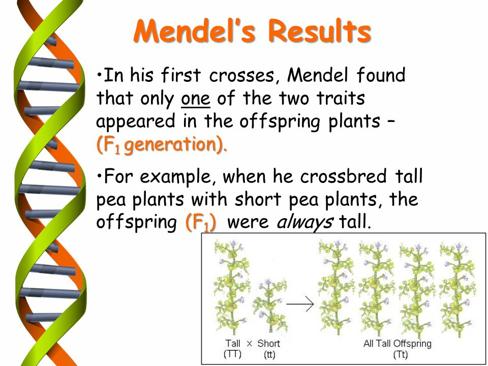 In his first crosses, Mendel found that only one of the two traits appeared in the offspring plants – (F 1 generation). (F 1 )For example, when he cro