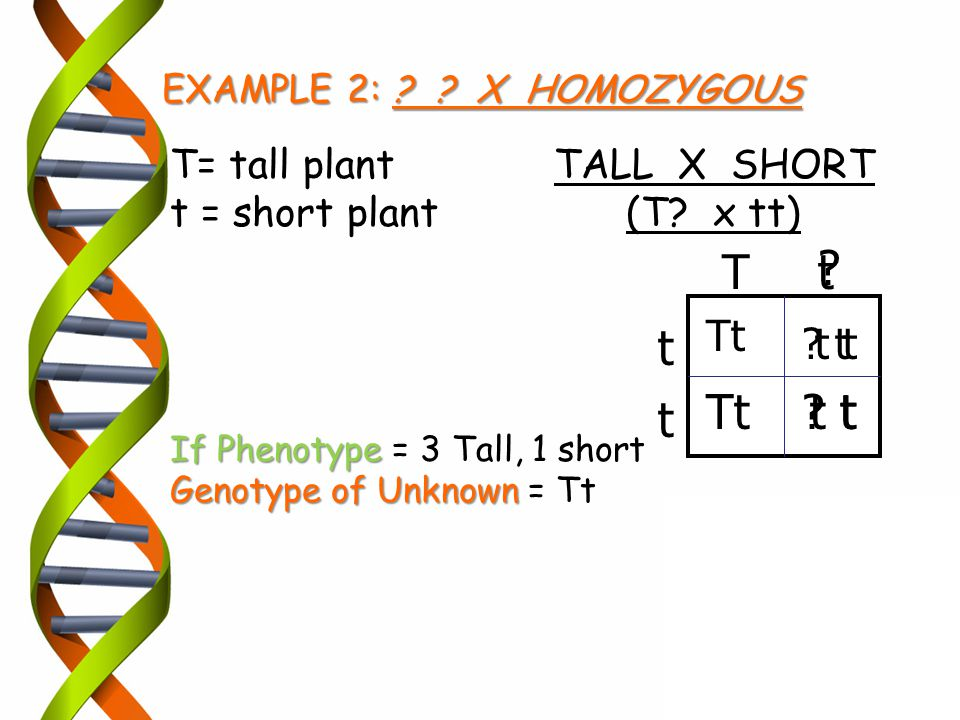 EXAMPLE 2: ? ? X HOMOZYGOUS T= tall plantTALL X SHORT t = short plant (T? x tt) If Phenotype If Phenotype = 3 Tall, 1 short Genotype of Unknown Genoty