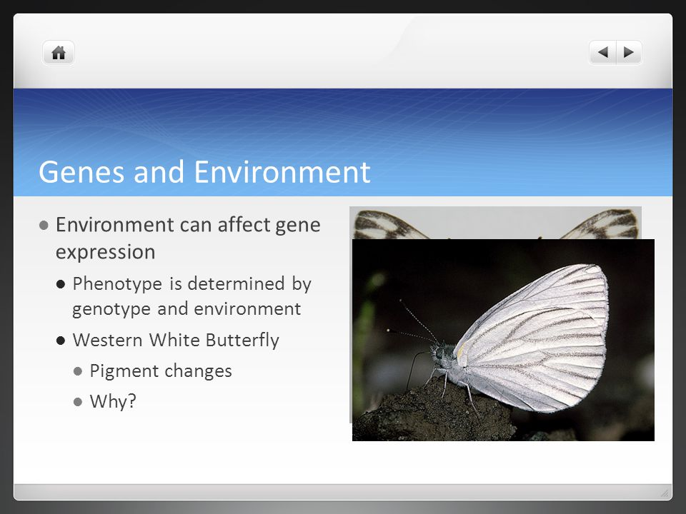 Genes and Environment Environment can affect gene expression Phenotype is determined by genotype and environment Western White Butterfly Pigment changes Why?