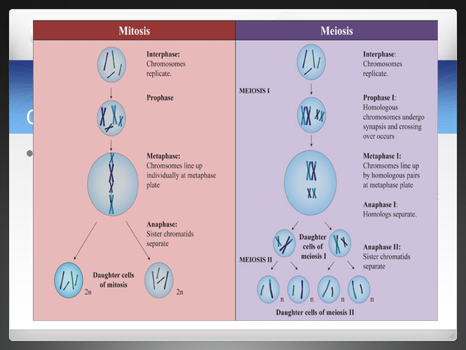 Comparing Meiosis and Mitosis Replication and Separation of Genetic Material Mitosis Replicate once, divide once (single chromosomes lined up, full set of chromosomes at end Meiosis Replicate once, divide twice (pairs lined up), half the number of chromosomes at end.