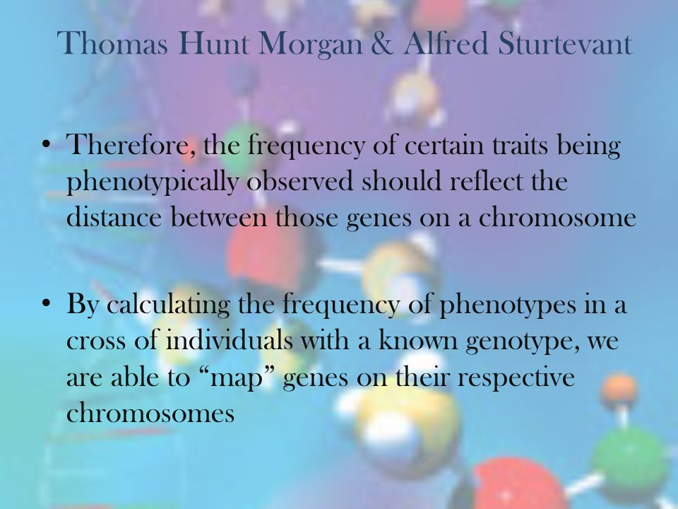 Thomas Hunt Morgan & Alfred Sturtevant Used drosophila (fruit flies) to experiment with independent assortment of genes Q: Why use fruit flies? A: The