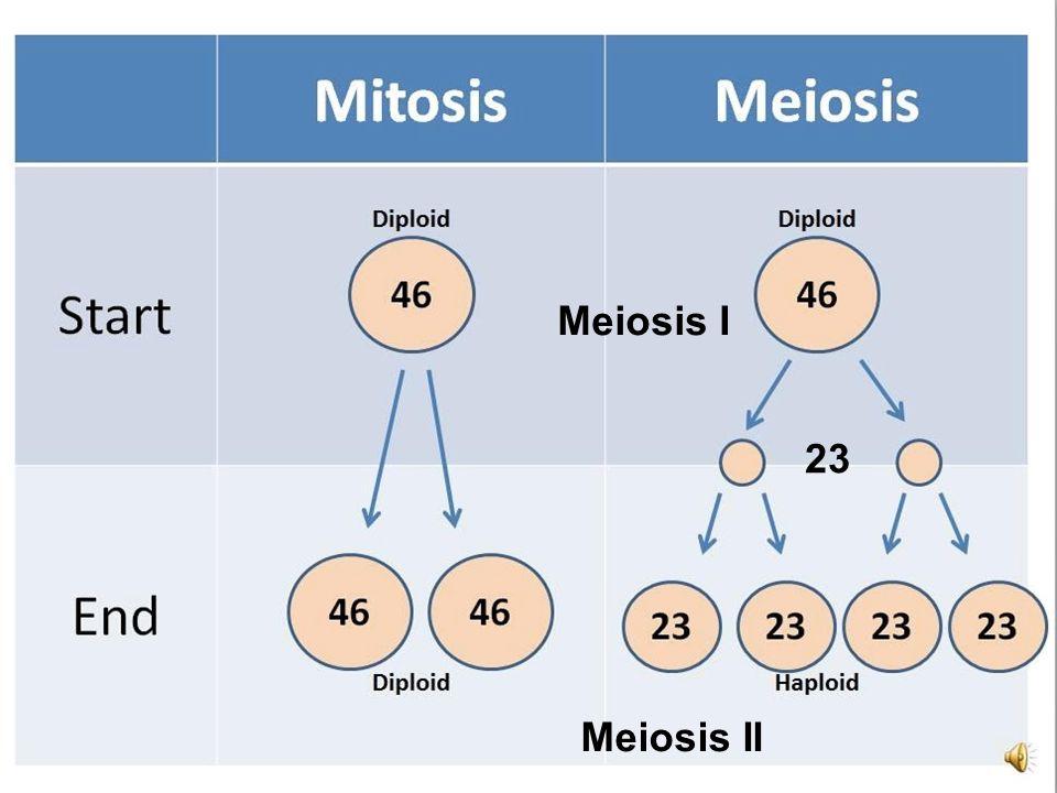 Meiosis Meiosis I Meiosis II 23