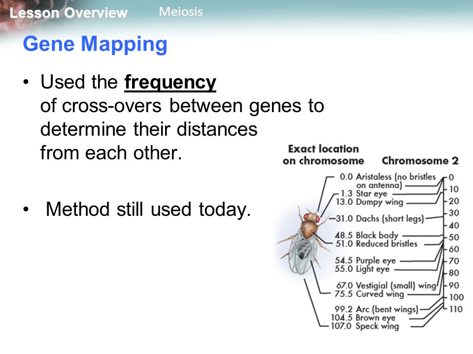 Lesson Overview Lesson OverviewMeiosis Gene Mapping Used the frequency of cross-overs between genes to determine their distances from each other.
