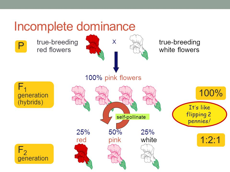 Incomplete dominance Heterozygote shows an intermediate, blended phenotype example: RR = red flowers rr = white flowers Rr = pink flowers make 50% less color RR  RR  WW  RW WWRW