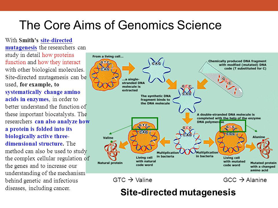 Site-directed mutagenesis With Smith's site-directed mutagenesis the researchers can study in detail how proteins function and how they interact with