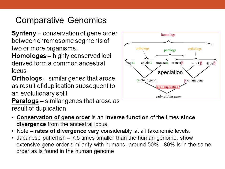 Comparative Genomics Synteny – conservation of gene order between chromosome segments of two or more organisms. Homologes – highly conserved loci deri