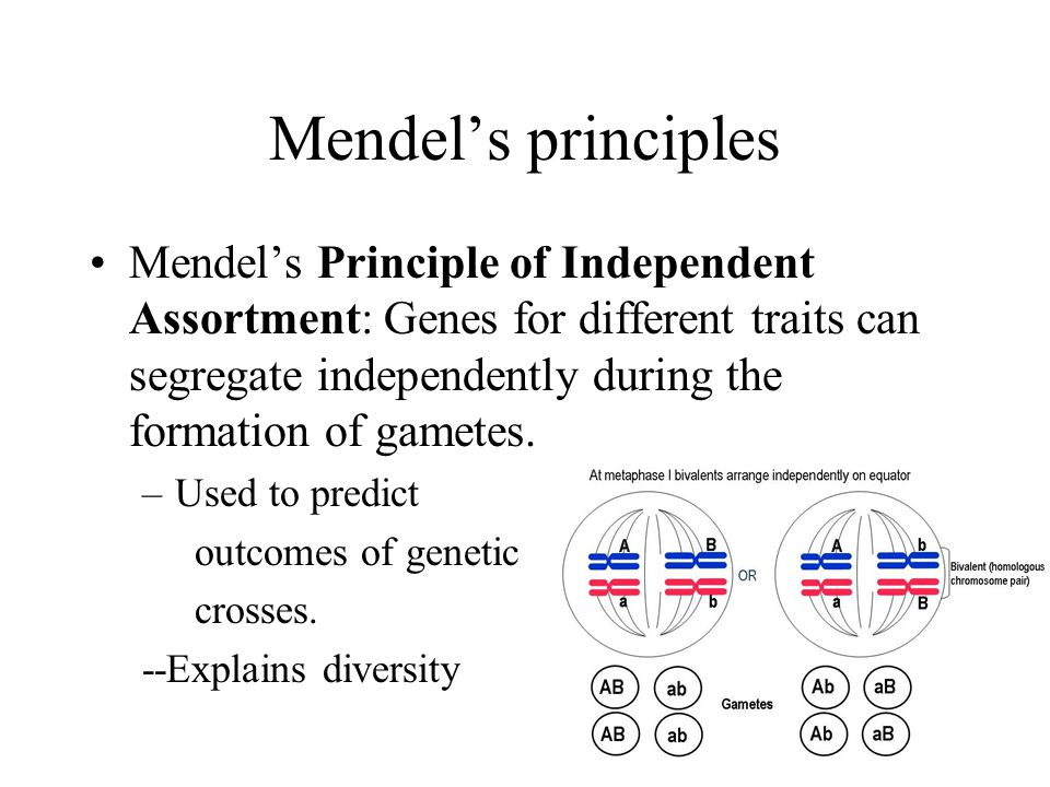 Mendel's principles Mendel's Principle of Independent Assortment: Genes for different traits can segregate independently during the formation of gametes.