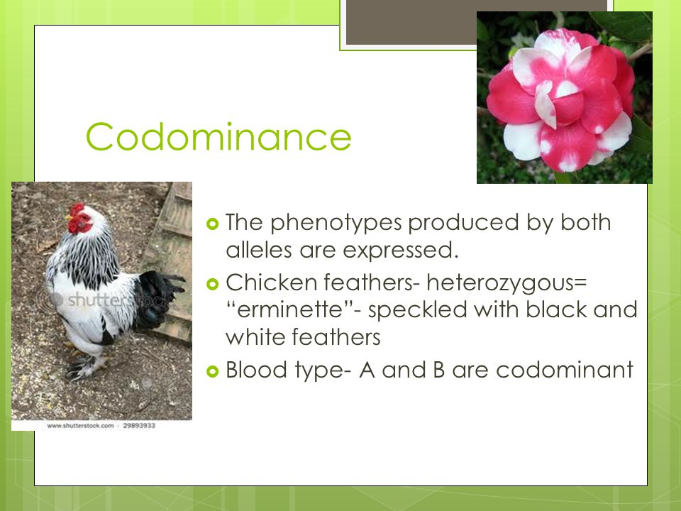 "Codominance  The phenotypes produced by both alleles are expressed.  Chicken feathers- heterozygous= ""erminette""- speckled with black and white feat"