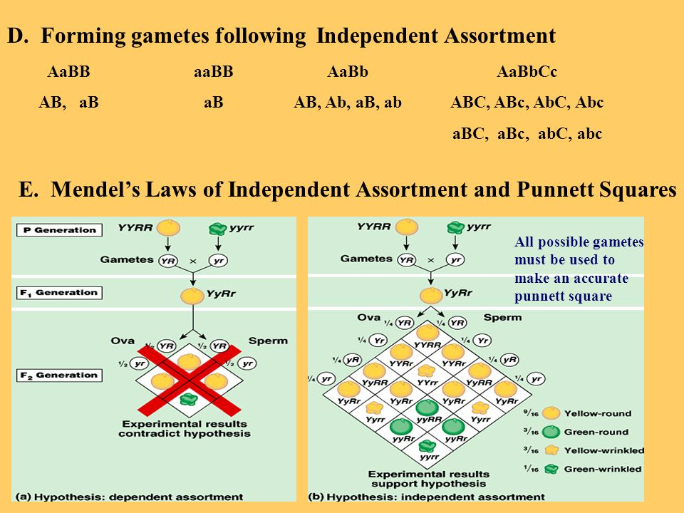 D. Forming gametes following Independent Assortment AaBB AB, aB aaBB aB AaBb AB, Ab, aB, ab AaBbCc ABC, ABc, AbC, Abc aBC, aBc, abC, abc E. Mendel's L