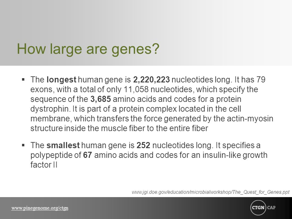 www.pinegenome.org/ctgn How large are genes?  The longest human gene is 2,220,223 nucleotides long. It has 79 exons, with a total of only 11,058 nucl