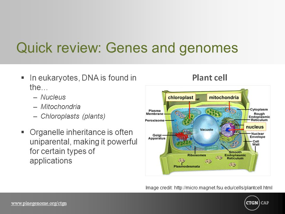 www.pinegenome.org/ctgn Quick review: Genes and genomes  In eukaryotes, DNA is found in the... –Nucleus –Mitochondria –Chloroplasts (plants)  Organe