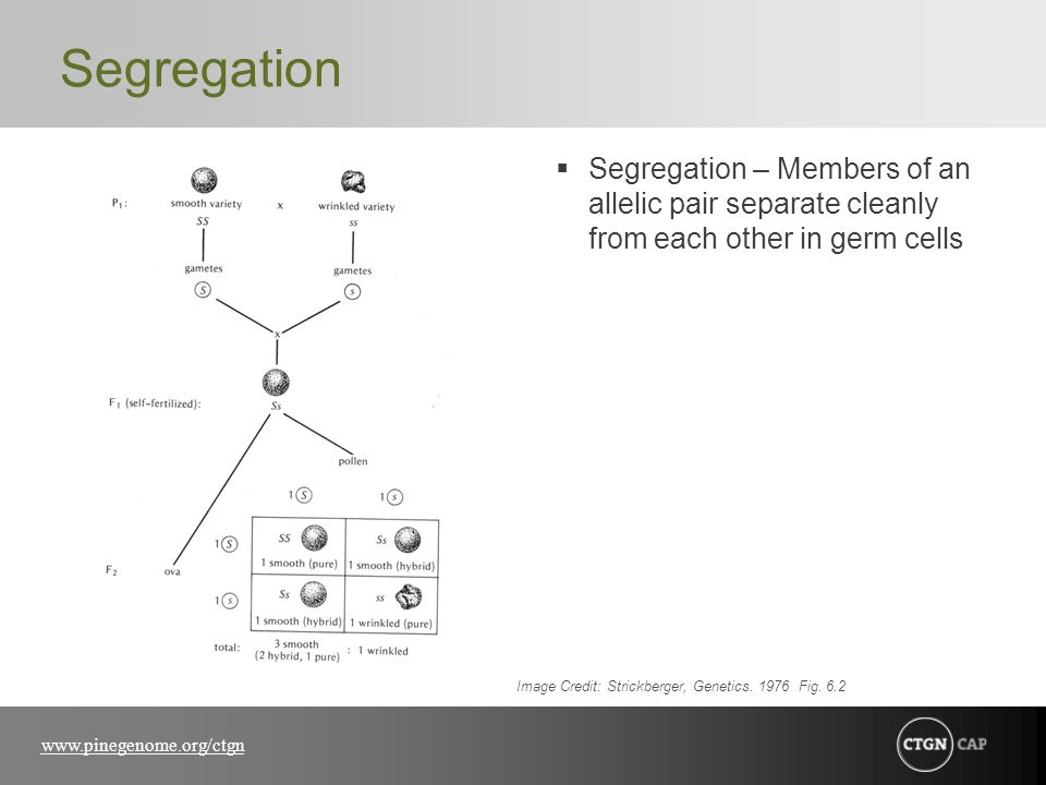 www.pinegenome.org/ctgn Segregation  Segregation – Members of an allelic pair separate cleanly from each other in germ cells Image Credit: Strickberg