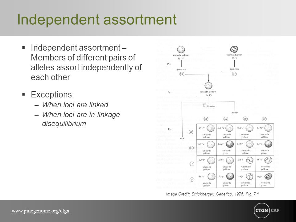 www.pinegenome.org/ctgn Independent assortment  Independent assortment – Members of different pairs of alleles assort independently of each other  E