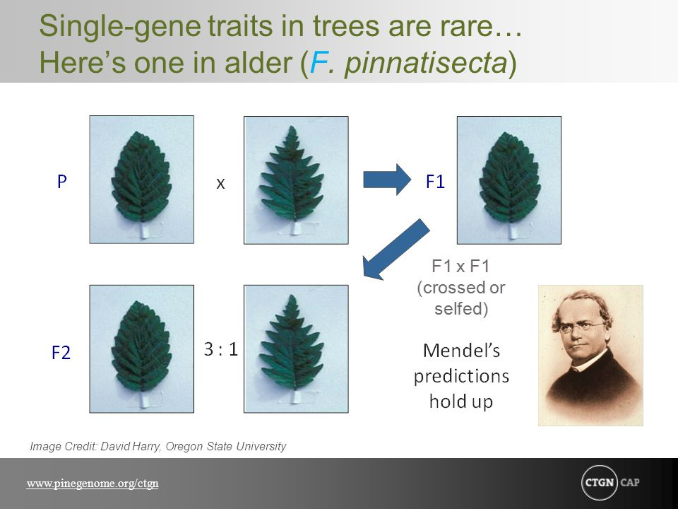 www.pinegenome.org/ctgn Single-gene traits in trees are rare… Here's one in alder (F. pinnatisecta) Image Credit: David Harry, Oregon State University