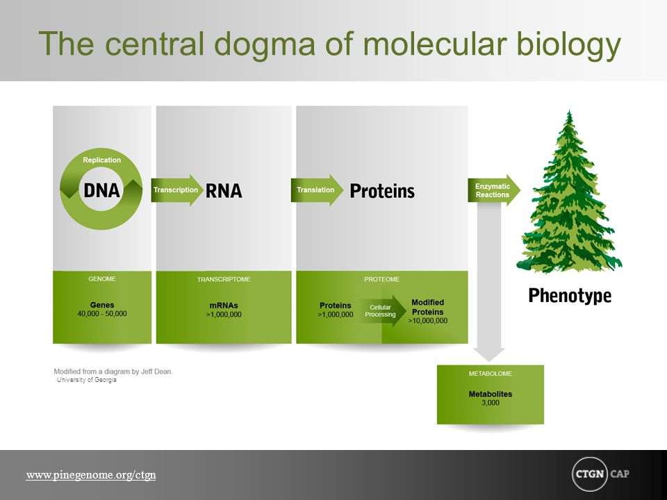 www.pinegenome.org/ctgn The central dogma of molecular biology University of Georgia